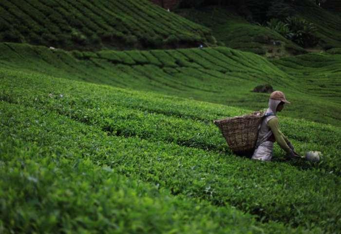 83504-057632400_1526554999_green-tea-1508778100jsn.jpg